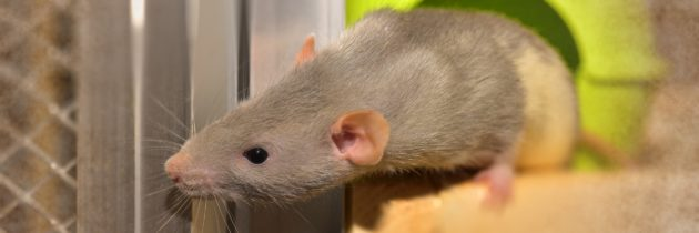 Oh rats! How to prevent them from moving in