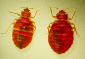Up close image of two bed bugs.